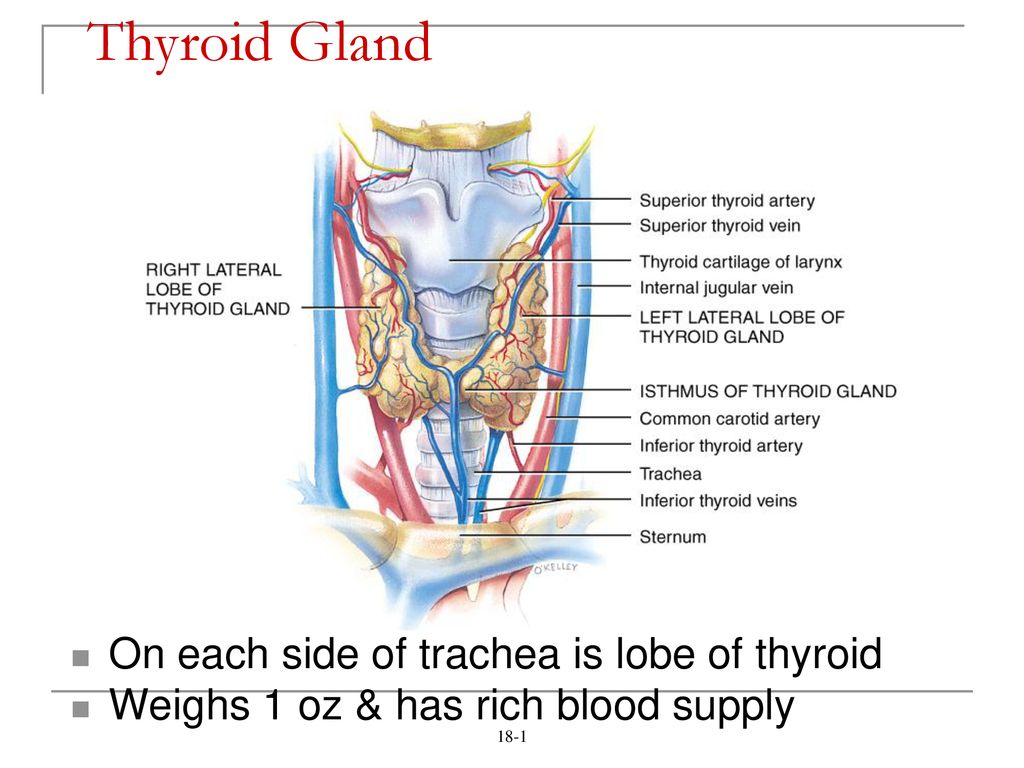 Thyroid Gland On Each Side Of Trachea Is Lobe Of Thyroid Ppt