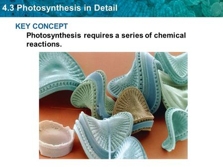 KEY CONCEPT  Photosynthesis requires a series of chemical reactions.