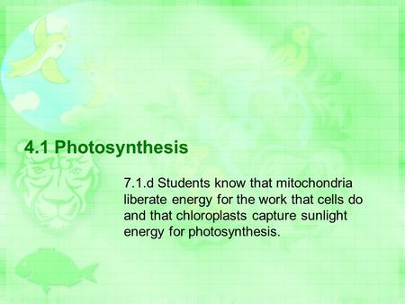 4.1 Photosynthesis 7.1.d Students know that mitochondria liberate energy for the work that cells do and that chloroplasts capture sunlight energy for photosynthesis.