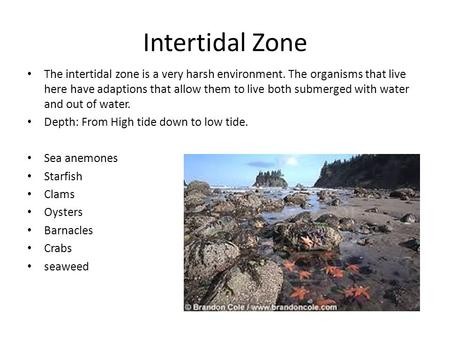 Intertidal Zone The intertidal zone is a very harsh environment. The organisms that live here have adaptions that allow them to live both submerged with.