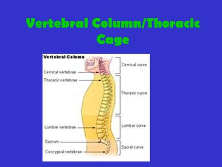 Vertebral Column/Thoracic Cage. Vertebral Column: Connects skull to pelvis Composed of vertebra(e) and intervertebral disks Function: (1) supports head,