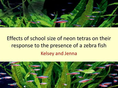 Effects of school size of neon tetras on their response to the presence of a zebra fish Kelsey and Jenna.