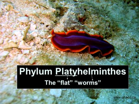 "Phylum Platyhelminthes The ""flat"" ""worms"" www.onacd.ca."