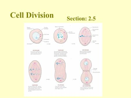 Cell Division Section: 2.5. Growth and repair of cells occurs in a process called mitosis.