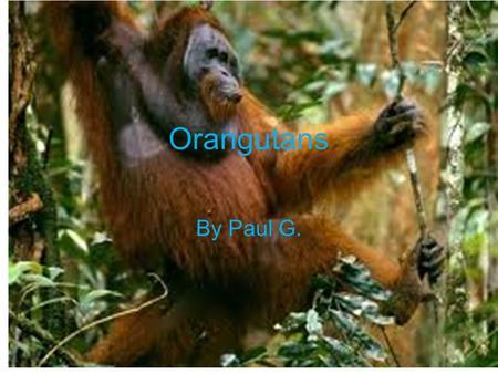 Orangutans By Paul G. Physical Characteristics Gray skin and red hair on bodies Long arms and short legs Long fingers and stubby thumbs Adult male: weighs.