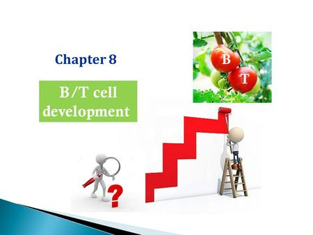 Chapter 8 B/T cell development B T. Adaptive immunity B/T cells Innate immunity BCR/TCR: epitope recognition Gene rearrangement of AgR Pattern recognition.