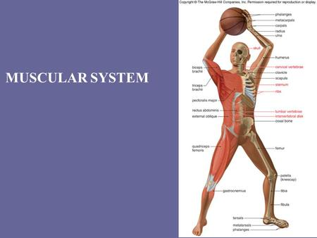 MUSCULAR SYSTEM. Types of muscles SkeletalCardiacSmooth.