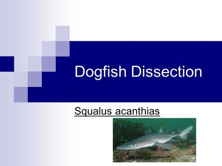 Dogfish Dissection Squalus acanthias.