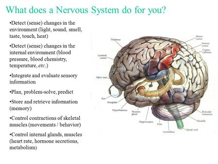 What does a Nervous System do for you? Detect (sense) changes in the environment (light, sound, smell, taste, touch, heat) Detect (sense) changes in the.