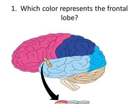 1. Which color represents the frontal lobe?. 2. Which color represents the occipital lobe?