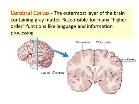 Cerebral Cortex - The outermost layer of the brain containing gray matter. Responsible for many higher-order functions like language and information.