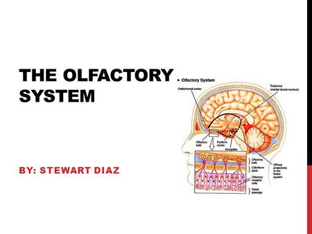 THE OLFACTORY SYSTEM BY: STEWART DIAZ. FUNCTION The olfactory system is pretty much the system you use to detect odor. The mechanism the system uses is.
