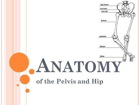 A NATOMY of the Pelvis and Hip. B ONY A NATOMY OF THE H IP Hip is formed by the junction of the femur and the pelvic girdle This articulation, formed.