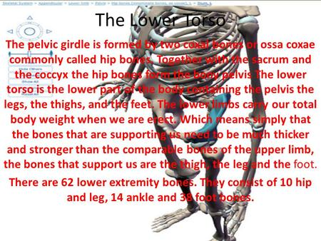 The Lower Torso The pelvic girdle is formed by two coxal bones or ossa coxae commonly called hip bones. Together with the sacrum and the coccyx the hip.