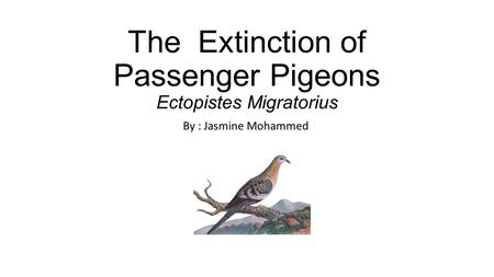 The Extinction of Passenger Pigeons Ectopistes Migratorius By : Jasmine Mohammed.