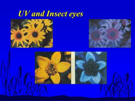 UV and Insect eyes. LIGHT &PHOTOSYNTHESIS Spectrum.