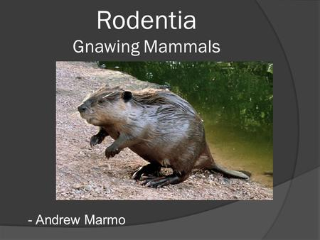 Rodentia Gnawing Mammals - Andrew Marmo. Skull Characteristics  A pair of upper and lower incisors Single open root Continuously growing  Enamel on.