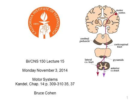 1 Bi/CNS 150 Lecture 15 Monday November 3, 2014 Motor Systems Kandel, Chap. 14:p. 309-310 35, 37 Bruce Cohen.