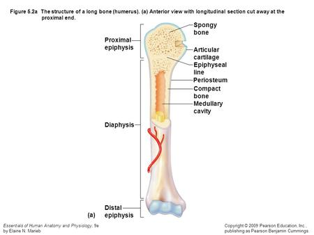 The Structure Of A Long Bone Humerus Ppt Video Online