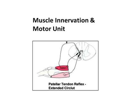 Muscle Innervation & Motor Unit.