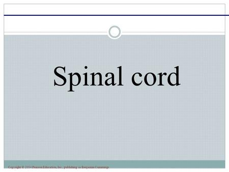 Copyright © 2004 Pearson Education, Inc., publishing as Benjamin Cummings Spinal cord.