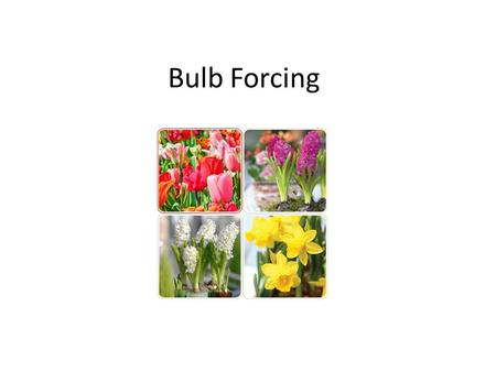 Bulb Forcing. Bulbs we are growing this year Easter Sale – Daffodil – Tulip – Hyacinth – Muscari Holiday & January plant décor in district office.
