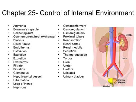 Chapter 25- Control of Internal Environment Ammonia Bowman's capsule Collecting duct Countercurrent heat exchanger Dialysis Distal tubule Endotherms Estivation.