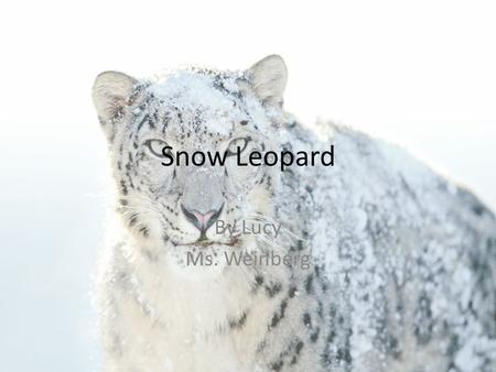 Snow Leopard By Lucy Ms. Weinberg. Snow Leopard Why I Chose My Animal? I chose the snow leopard because my dad and I both love the snow leopard's coat.
