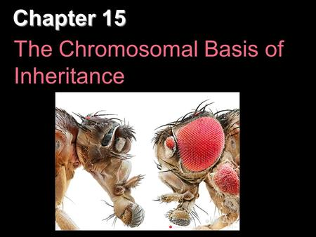 "Chapter 15 The Chromosomal Basis of Inheritance. Overview: Locating Genes Along Chromosomes Mendel's ""hereditary factors"" were genes, though this wasn't."