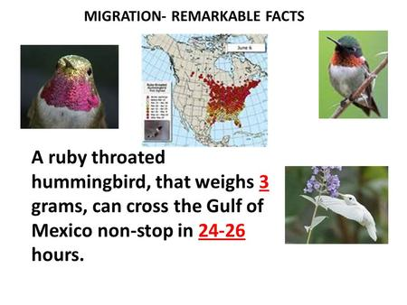 MIGRATION- REMARKABLE FACTS A ruby throated hummingbird, that weighs 3 grams, can cross the Gulf of Mexico non-stop in 24-26 hours.