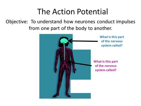 The Action Potential Objective: To understand how neurones conduct impulses from one part of the body to another. What is this part of the nervous system.