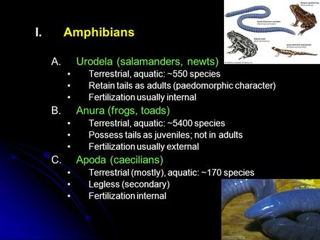 I. I.Amphibians A. A.Urodela (salamanders, newts) Terrestrial, aquatic: ~550 species Retain tails as adults (paedomorphic character) Fertilization usually.
