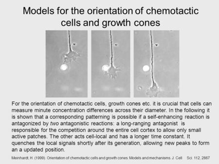 Models for the orientation of chemotactic cells and growth cones For the orientation of chemotactic cells, growth cones etc. it is crucial that cells can.