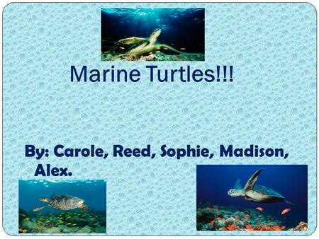 Marine Turtles!!! By: Carole, Reed, Sophie, Madison, Alex.