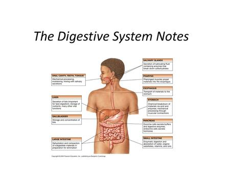 The Digestive System Notes
