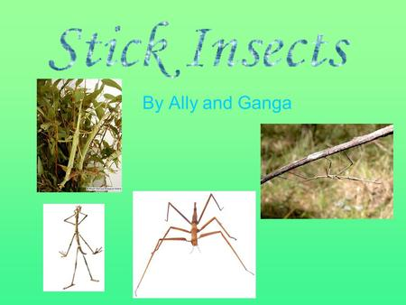 By Ally and Ganga. Stick insects are thin stick like insects which live where there is enough trees (with leaves) to eat. They can be either green or.