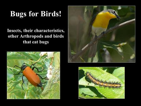 Bugs for Birds! Insects, their characteristics, other Arthropods and birds that eat bugs.