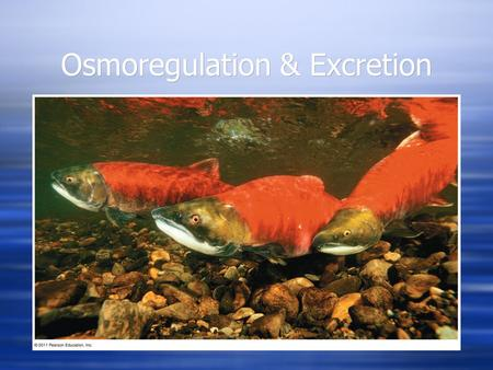 Osmoregulation & Excretion. A Balancing Act  Physiological systems of fishes operate in an internal fluid environment that may not match their external.
