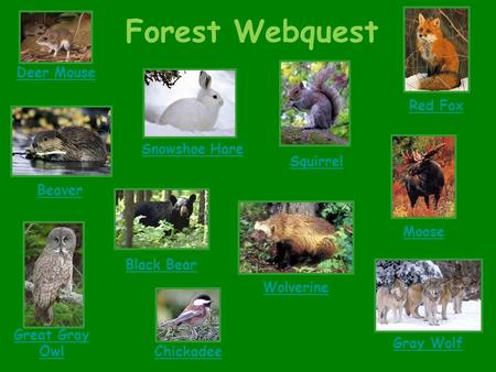 Forest Webquest Deer Mouse Snowshoe Hare Great Gray Owl Beaver Moose Black Bear Gray Wolf Wolverine Red Fox Chickadee Squirrel.