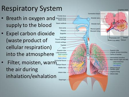 Respiratory System Breath in oxygen and supply to the blood Expel carbon dioxide (waste product of cellular respiration) into the atmosphere Filter, moisten,