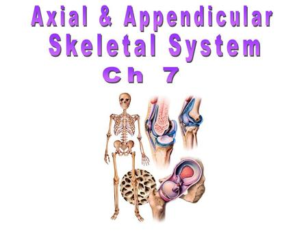 Axial & Appendicular Skeletal System Ch 7.