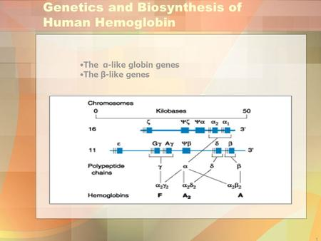 1 Genetics and Biosynthesis of Human Hemoglobin The α-like globin genes The β-like genes.