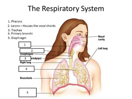 The Respiratory System 1 2 3 4 5 1. Pharynx 2. Larynx – Houses the vocal chords 3. Trachea 4. Primary bronchi 5. Diaphragm.