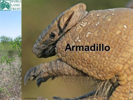 Armadillo © Andrea Ferriera. There are about 20 different types (species) of Armadillo, 9 types of Armadillo live in Paraguay. Different types of Armadillo.