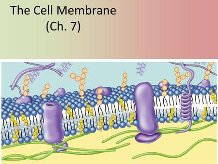 The Cell Membrane (Ch. 7) Phospholipids Fatty acid Phosphate Amphipathic – Phosphate head hydrophilic – Fatty acid tails hydrophobic Arranged as a bilayer.