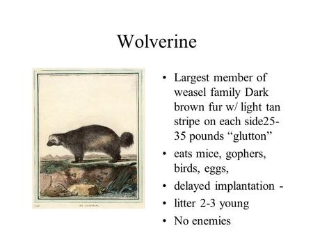 "Wolverine Largest member of weasel family Dark brown fur w/ light tan stripe on each side25- 35 pounds ""glutton"" eats mice, gophers, birds, eggs, delayed."