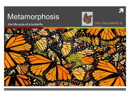  Metamorphosis the life cycle of a butterfly Click the butterfly to begin.