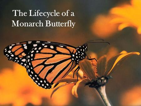The Lifecycle of a Monarch Butterfly