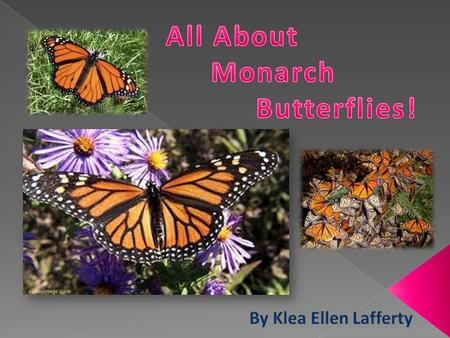  A monarch butterfly has orange wings with black wing veins and outer margins. It has small white spots on the outer edge of the wings and three orange.