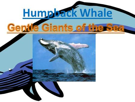 Humpback Whale By: MP. Name of my animal is the Humpback Whale The scientific name is Megaptera Novaeangliae It's a baleen whale It's in the whale family.